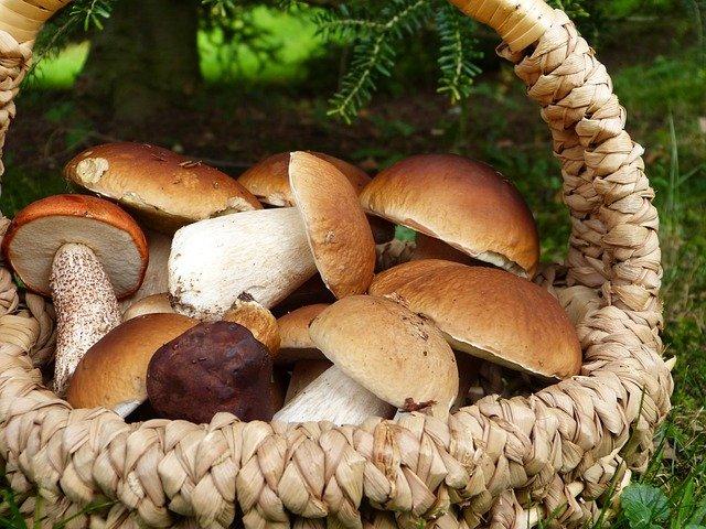 Porcini, funghi
