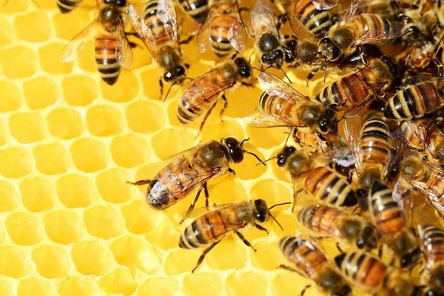 Api che lavorano il miele